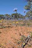 Western Australian wildflower Stock Photos