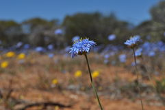 Western Australian wildflower close up Royalty Free Stock Photography