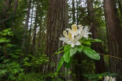 Western Azalea Rhododendron occidentale flowers. Blooming in Big Basin Redwoods State Park, California stock image