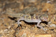 The western banded gecko Coleonyx variegatus is a species of gecko found in the southwestern United States. Individual. The western banded gecko Coleonyx Royalty Free Stock Image
