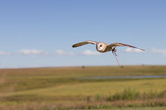 Western Barn Owl. Flying low over green grass Stock Photos