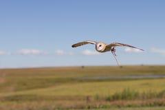 Western Barn Owl Stock Photos