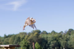 Western Barn Owl. Taking off Royalty Free Stock Image