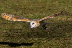 The western barn owl, Tyto alba in a nature park stock images