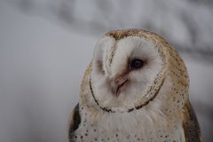 The western barn owl, Tyto alba in a nature park stock photo