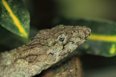Western bearded anole Royalty Free Stock Image