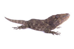 Western bearded anole, Chamaeleolis barbatus. The Western bearded anole, Chamaeleolis barbatus, is a cryptic ambush predator endemic to Cuba Royalty Free Stock Image