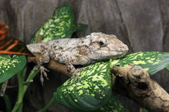 Western bearded anole Royalty Free Stock Images
