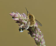 Western Bee-Fly Royalty Free Stock Image