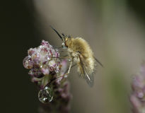 Western Bee-Fly Stock Photo