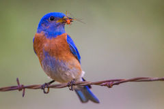Western Blluebird Royalty Free Stock Photo