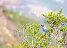 Western Blue Bird Royalty Free Stock Photo