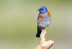 Western Blue Bird Stock Photography