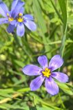 Western Blue Eyed Grass Royalty Free Stock Photo