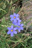Western Blue Eyed Grass Stock Photography