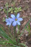 Western Blue Eyed Grass. Grows as a small, perennial where there is some moisture, particularly grassy areas. Colors vary from a true blue to a deep purple. It Stock Photography