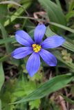 Western Blue Eyed Grass. Grows as a small, perennial where there is some moisture, particularly grassy areas. Colors vary from a true blue to a deep purple. It Royalty Free Stock Images