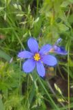 Western Blue Eyed Grass. Grows as a small, perennial where there is some moisture, particularly grassy areas. Colors vary from a true blue to a deep purple. It Royalty Free Stock Image