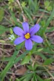 Western Blue Eyed Grass. Grows as a small, perennial where there is some moisture, particularly grassy areas. Colors vary from a true blue to a deep purple. It Stock Image