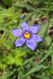 Western Blue Eyed Grass Royalty Free Stock Image
