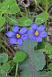 Western Blue Eyed Grass Stock Photo