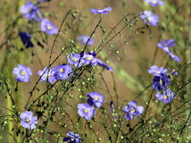Western Blue Flax - Linum lewisii Stock Photos