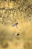 Western Bluebird Stock Images