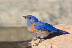 Western Bluebird. Drinking water from a pond Stock Image