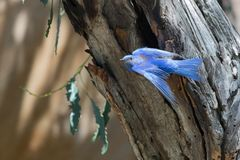 Western Bluebird Flying Out of a Nest Hole. This brilliant blue male Western bluebird gracefully flies out of the nest hole Stock Photo