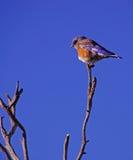 Western bluebird male Stock Photos