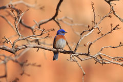 Western Bluebird. A male Western Bluebird ( Sialia mexicana) perches in a the branches of a Gambel Oak with red sandston as a backdrop at Maxwell Canyon, Utah Royalty Free Stock Photo