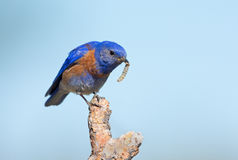 Western Bluebird - Male, with a worm Royalty Free Stock Image
