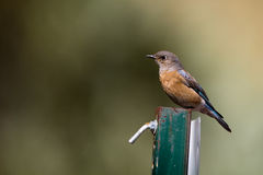 Western Bluebird, Sialia mexicana Royalty Free Stock Photography