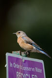Western Bluebird, Sialia mexicana. Female Western Bluebird on a sign post in Bonelli Regional Park near Los Angeles, California Royalty Free Stock Image
