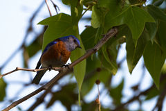 Western Bluebird, Sialia mexicana Stock Photo
