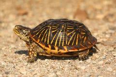 Western Box Turtle (Terrapene ornata) Royalty Free Stock Photo