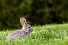 Western Brush Cottontail Rabbit Royalty Free Stock Photo
