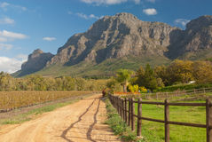 Western Cape vineyard. The Western Cape of South Africa is a renowned wine producing region Stock Photos