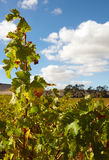 Western Cape vineyards Stock Images