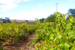 Western Cape vineyards Royalty Free Stock Images