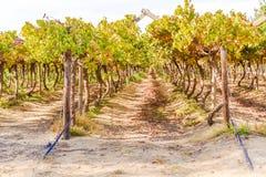 Western Cape wineyard Royalty Free Stock Photos