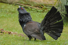Western Capercaillie Royalty Free Stock Photos