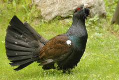 Western Capercaillie Royalty Free Stock Image