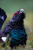 Western Capercaillie. Male Western Capercaillie displays in forest Royalty Free Stock Photo