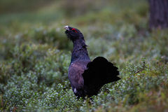 Western Capercaillie Stock Photo