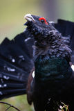 Western Capercaillie. Male Western Capercaillie displays in forest Royalty Free Stock Images