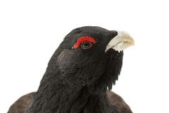 Western capercaillie. Portrait of a male western capercaillie in snow Stock Images