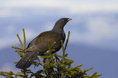 Western Capercaillie - Tetrao urogallus, Ceahlau Mountains. Western Capercaillie - Tetrao urogallus stand in a tree in Ceahlau Mountains Royalty Free Stock Photo
