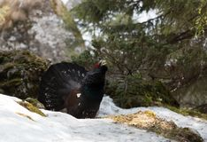 Western Capercaillie (Tetrao urogallus)  Royalty Free Stock Photography