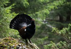 Western Capercaillie (Tetrao urogallus)  Royalty Free Stock Photos